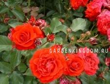 Роза почвопокровная NINA POULSEN