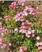 Роза почвопокровная YESTERDAY