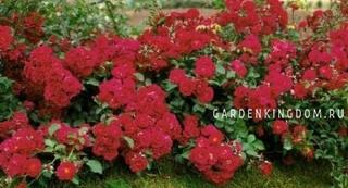 Роза почвопокровная HELLO