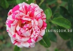 Роза парковая (грандифлора)  RENAISSANCE
