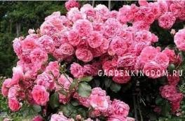 Роза парковая (грандифлора)  ROSARIUM UETERSEN