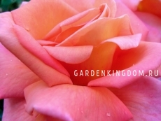 Роза парковая (грандифлора)  ROYAL DANE