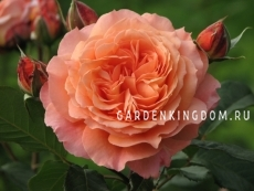 Роза парковая (грандифлора)  BELVEDERE