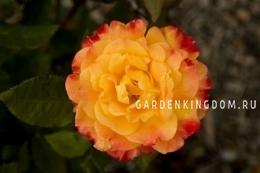 Роза флорибунда SAMBA