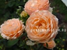 Роза густо-махровая TAMORA