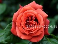 Роза чайно-гибридная TERRACOTE