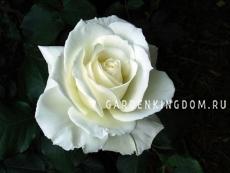 Роза чайно-гибридная TINEKE