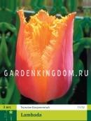 Тюльпан бахромчатый  LAMBADA, 3 шт