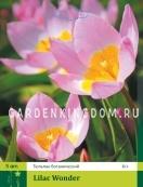 Тюльпан ботанический LILAC WONDER, 5 шт
