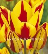 Тюльпан многоцветковый COLOUR SPECTACLE, 20 шт