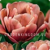 Тюльпан махровый ранний LA BELLE EPOQUE, 2 шт