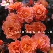 Роза парковая (грандифлора)  WESTERLAND