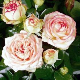 Роза миниатюрная BIDERMAYER