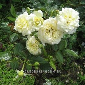 Роза плетистая  ELFE