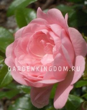 Роза почвопокровная FAIRY