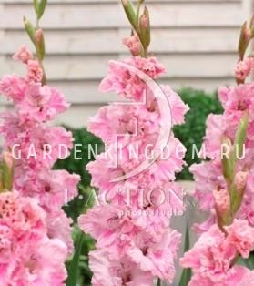 Гладиолус крупноцветковый САМАРА, 5 шт.