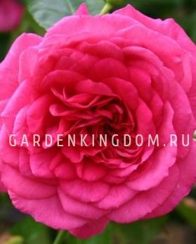 Роза плетистая LAGUNA