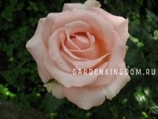 Роза чайно-гибридная DESIREE