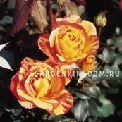 Роза чайно-гибридная MARVELLE