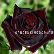Роза чайно-гибридная BLACK BACARA