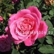 Роза чайно-гибридная MARIA CALLAS