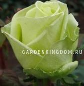 Роза чайно-гибридная AMANDINE
