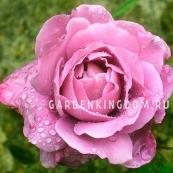 Роза флорибунда DEUTSCHE  WELLE