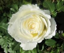 Роза флорибунда DIADEM WHITE