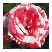 Роза флорибунда PASADENA
