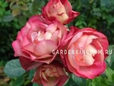 Роза флорибунда ACROPOLIS