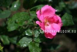 Роза флорибунда RODIN
