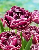 Тюльпан махровый поздний  DREAM TOUCH, 5 шт