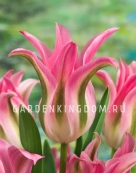 Тюльпан лилиецветный  FLOROSA, 10 шт