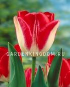 Тюльпан триумф  LIPGLOSS, 10 шт