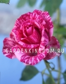 Роза миниатюрная PINK POODLE
