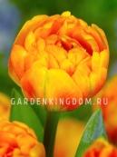 Тюльпан пионовидный  SUNLOVER, 10 шт