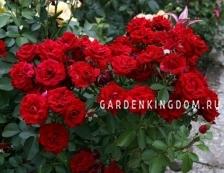 Роза плетистая NAIGLAT