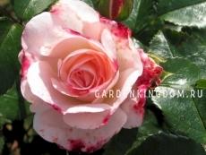 Роза парковая (грандифлора)  ROSENSTADT FREISING