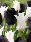 Смесь тюльпанов EBONY & IVORY, 15 шт
