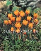 Крокус крупноцветковый OLIVERY ORANGE MONARCH, 15 шт