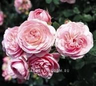 Роза флорибунда BAILANDO