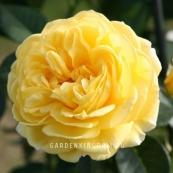 Роза флорибунда INKA