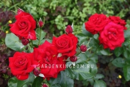 Роза флорибунда  NICOLO PAGANINI