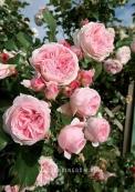 Роза плетистая GIARDINA