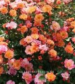 Роза почвопокровная JAZZ