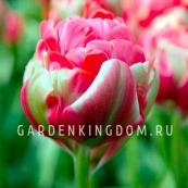 Тюльпан пионовидный  RENOWN UNIQUE, 3 шт