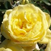 Роза парковая (грандифлора)  EMIL NOLDE ROSE