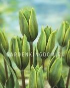 Тюльпан зеленоцветковый EVERGREEN, 10 шт