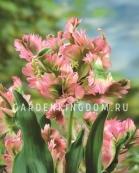 Тюльпан попугайный  GREENWAVE, 10 шт
