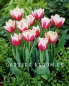 Тюльпан пионовидный  WIROSA, 3 шт